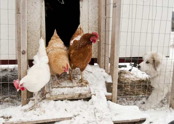Our chickens on a snowy day coming out of the coop.