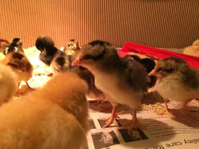Brave little chicks in our first brooder.
