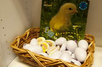 Educational eggs for the kids to follow along with the growth of the chickens.