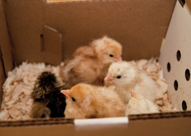 Just hatched chicks ready to go home.