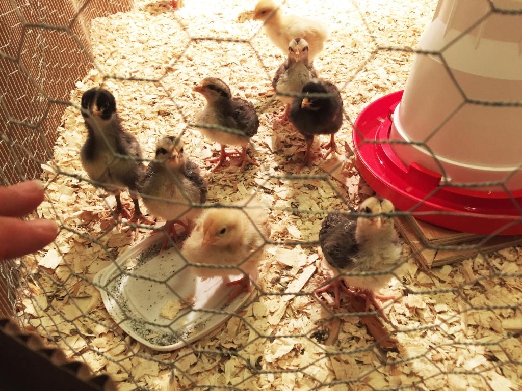 baby chicks 5.jpg