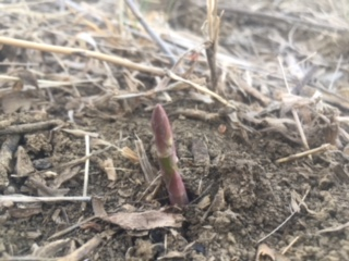 A little asparagus braving this COLD Spring.